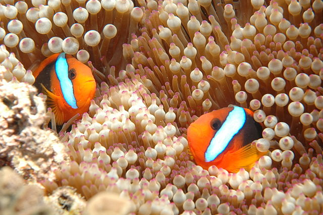 Australia Travel Guide and Travel Tips Clownfish, Great Barrier Reef