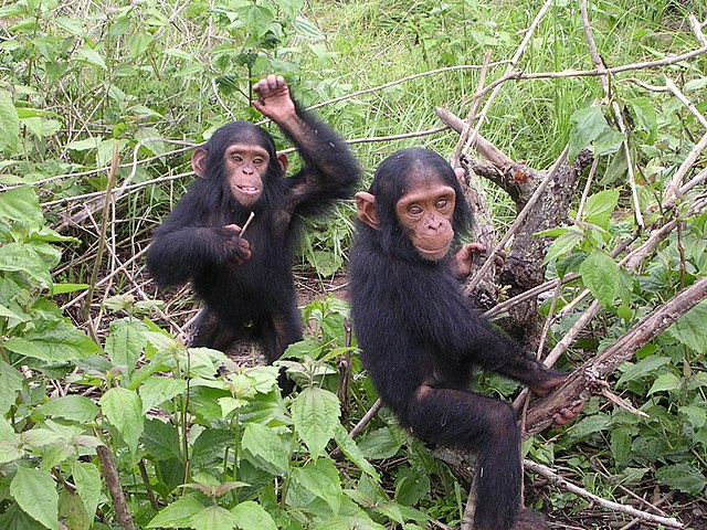 Tchimpounga Chimpanzee Sanctuary